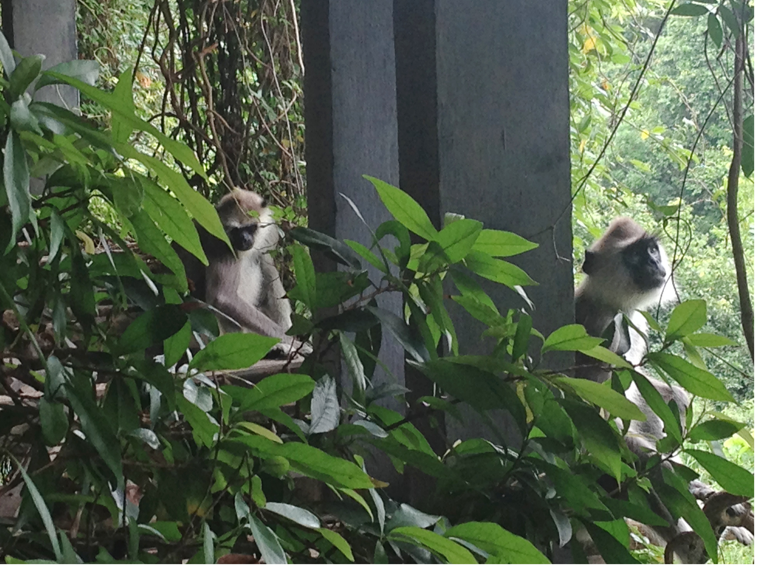 Heritance Kandalama, Monkeys 2